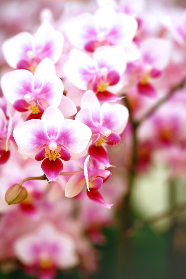 Eingemachte Mottenorchidee stockbilder