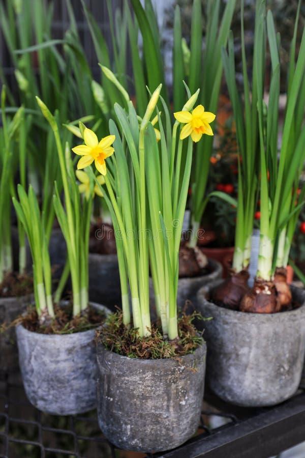 Eingemachte Narzissen, Narzissenblumen, die im Gartengeschäft blühen stockfotografie