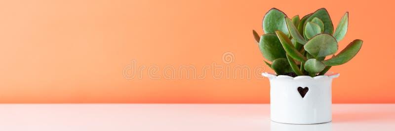 Eingemachte saftige Zimmerpflanze auf weißem Regal gegen korallenrote orangefarbene Wand Saftige Fahne stockfotos