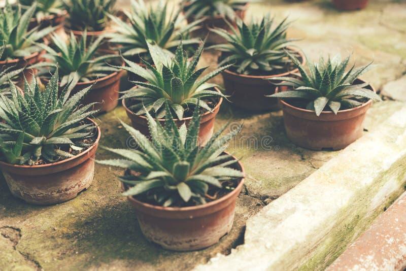 Eingemachte Succulents auf konkretem Weinlesehintergrund stockfoto
