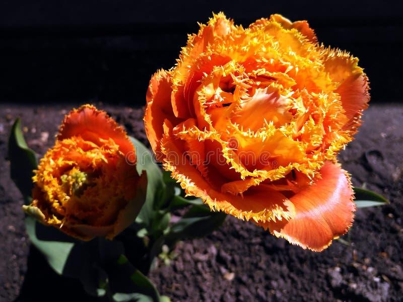 Eingesäumte Tulpe rief Sensual Touch an lizenzfreies stockbild