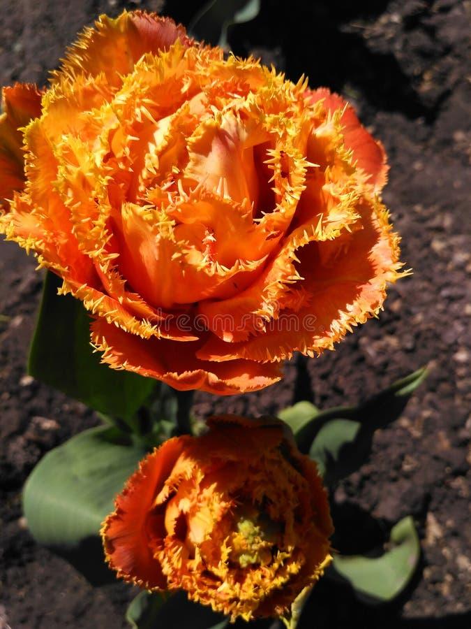 Eingesäumte Tulpe rief Sensual Touch an lizenzfreies stockfoto