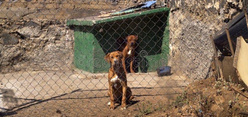 Eingesperrte Hunde lizenzfreies stockfoto