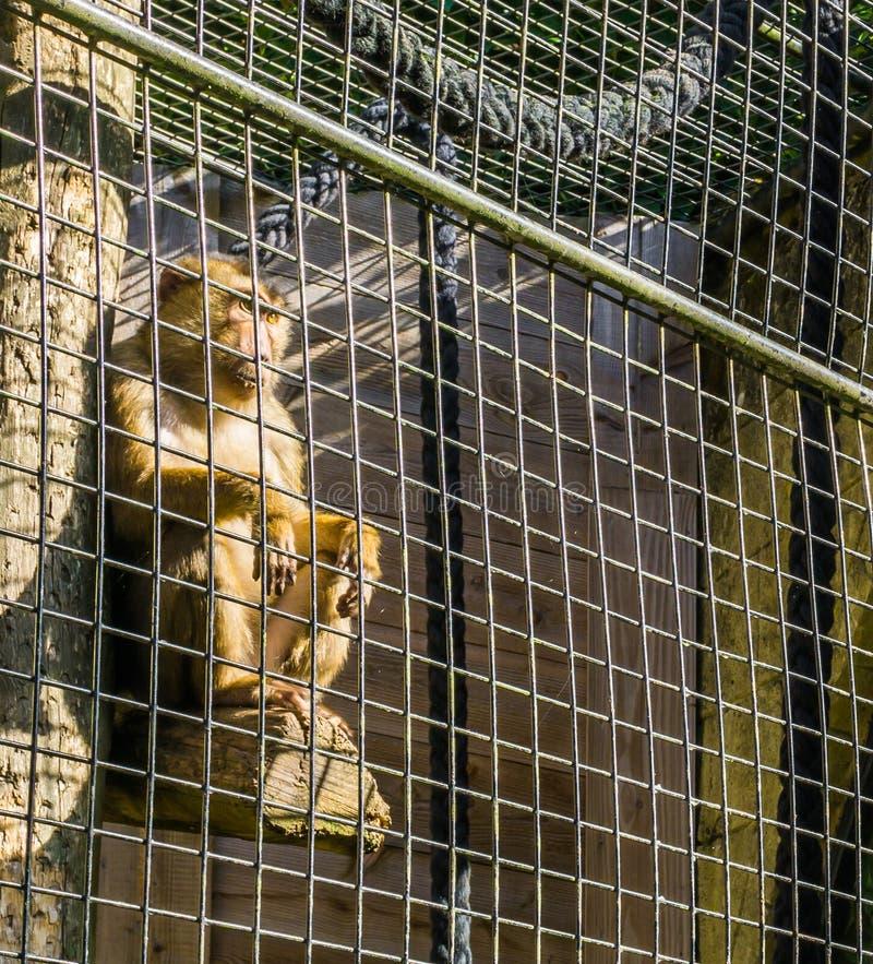 Eingesperrter brauner Makakenaffe hinter dem Metallzaunkäfig, der in einem Pfosten sitzt und draußen schaut lizenzfreie stockbilder
