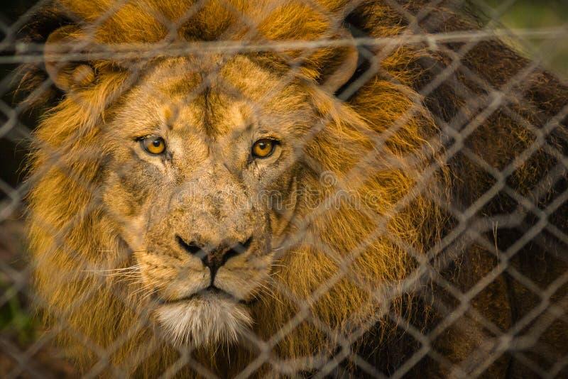 Eingesperrter Löwe lizenzfreie stockfotografie