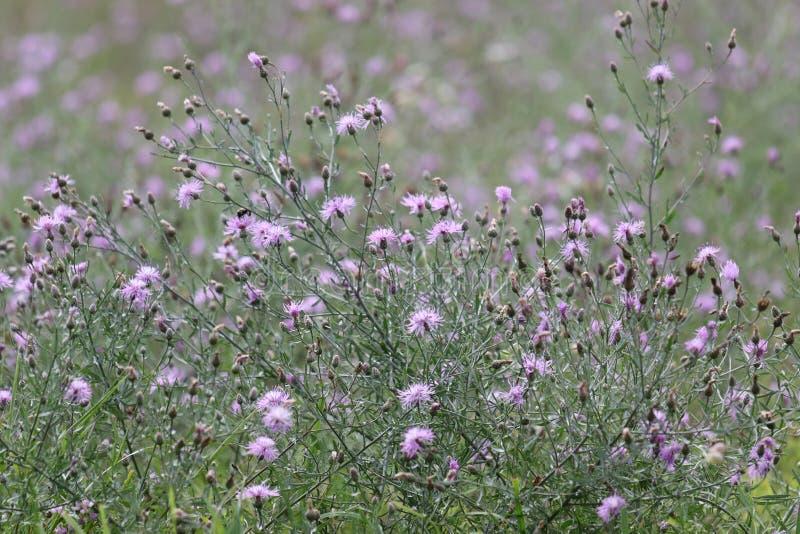 Eingreifende purpurrote beschmutzte Flockenblume lizenzfreies stockbild