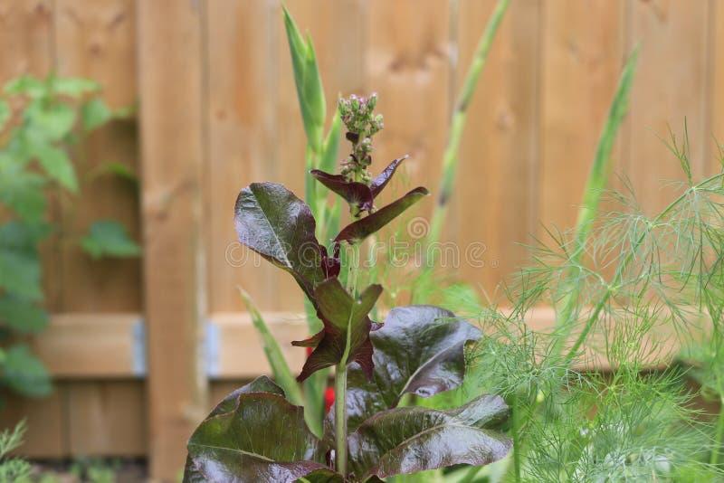 Einheimisches organisches Kopfsalat ` Lollo Rossa-` oder roter Blatt-Kopfsalat Lactuca Sativa auf einer Zuteilung in einem Gemüse stockfoto