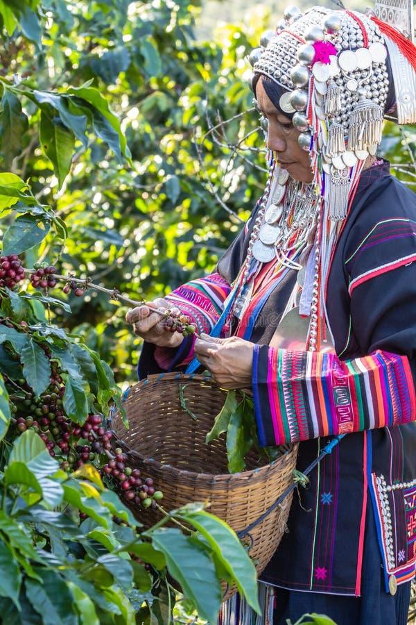 Einheimisches Stammes- Kleid ernteten reife Kaffeebohne stockfotografie