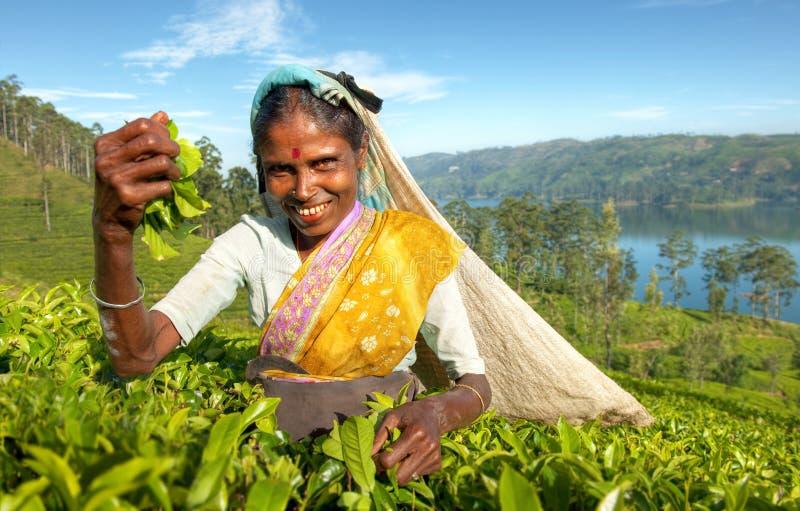 Einheimisches Tee-Pflücker-Konzept Sri Lankan stockbild