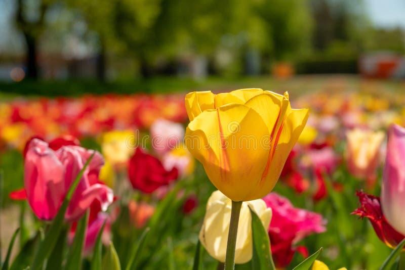 Einige bunte Tulpen stehen auf einem Tulpenfeld lizenzfreie stockfotografie