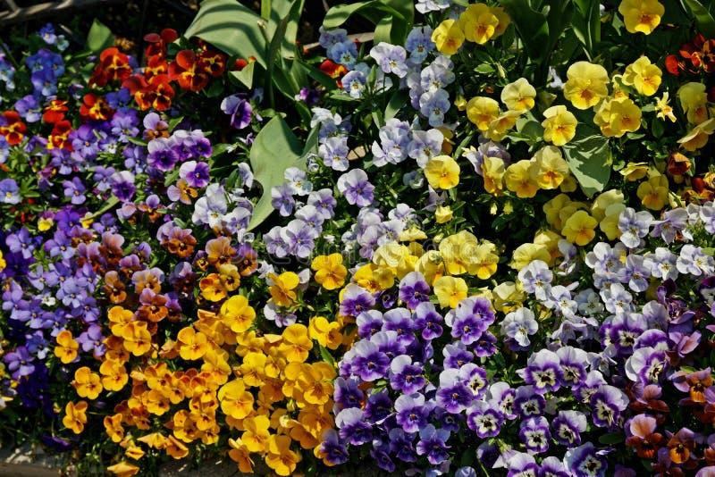 Einige bunte Violablumen im Frühjahr lizenzfreie stockfotos