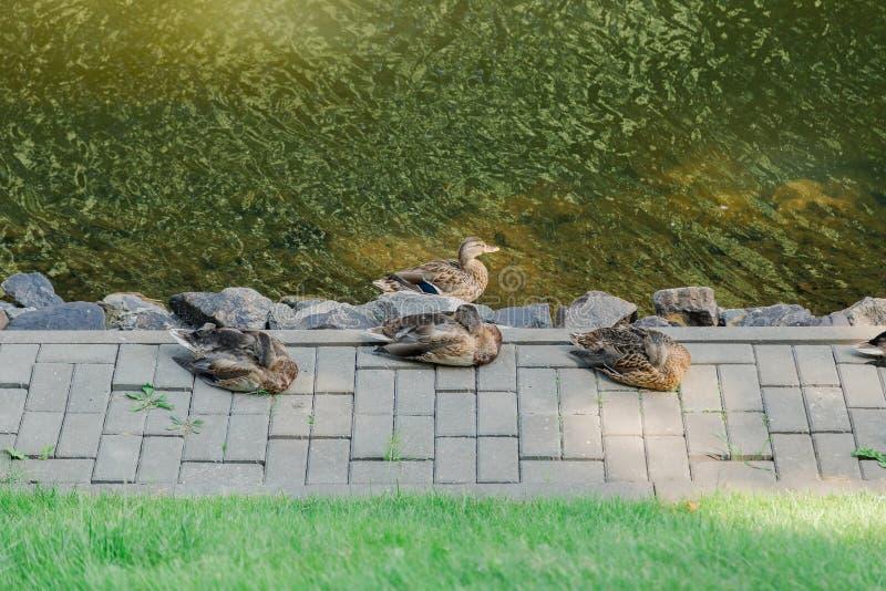 Einige Enten, die durch den See stillstehen lizenzfreies stockfoto