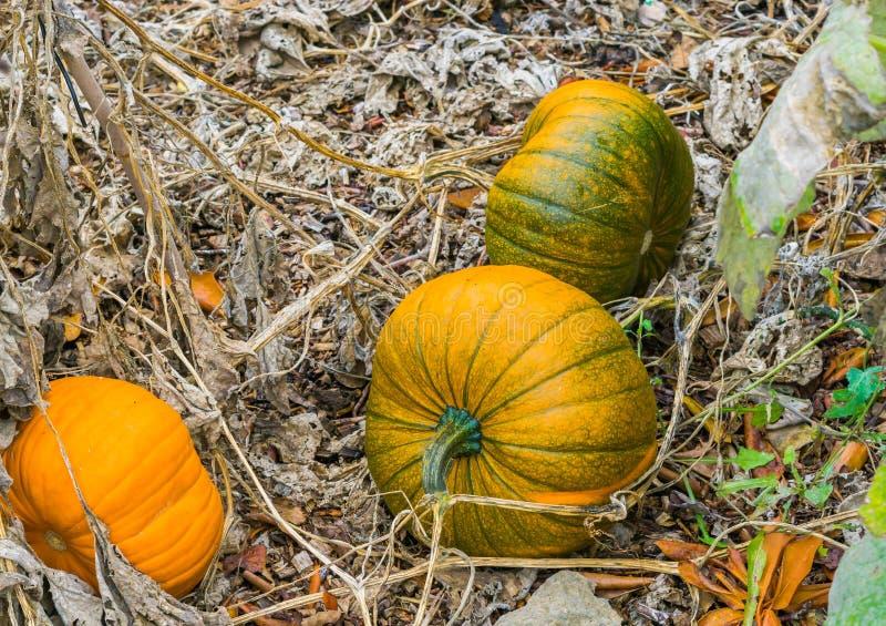 Einige frische wachsende Kürbisherbstkürbise organisch kultiviert für Halloween lizenzfreie stockbilder