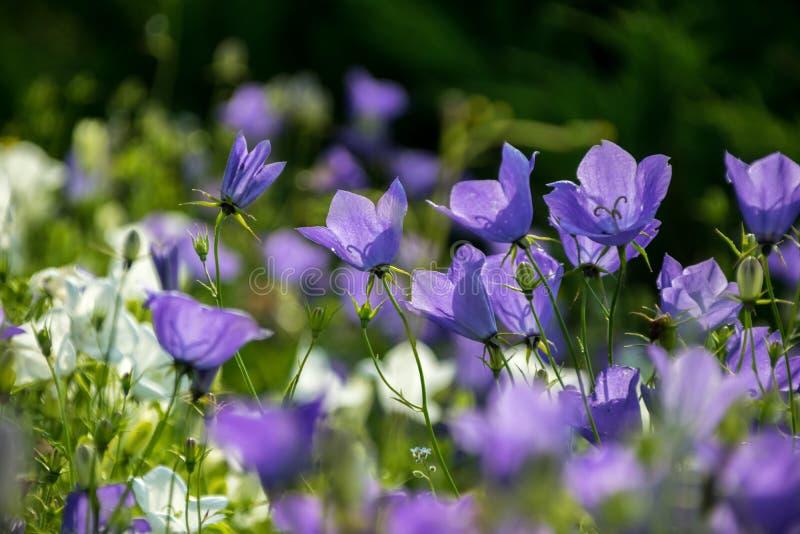 Einige Glockenblumen auf der Wiese stockfotografie