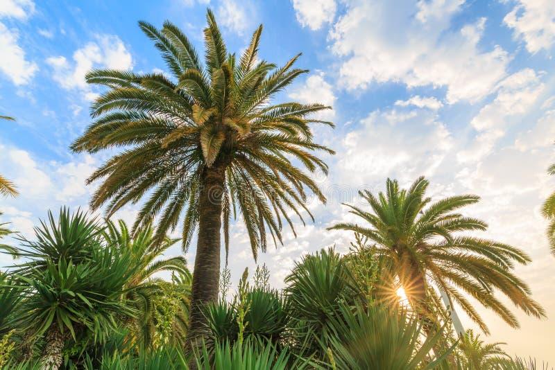 Einige grüne Palmen von verschiedenen Arten vor dem hintergrund des bewölkten Himmels und der Sonne an der Dämmerung stockfoto