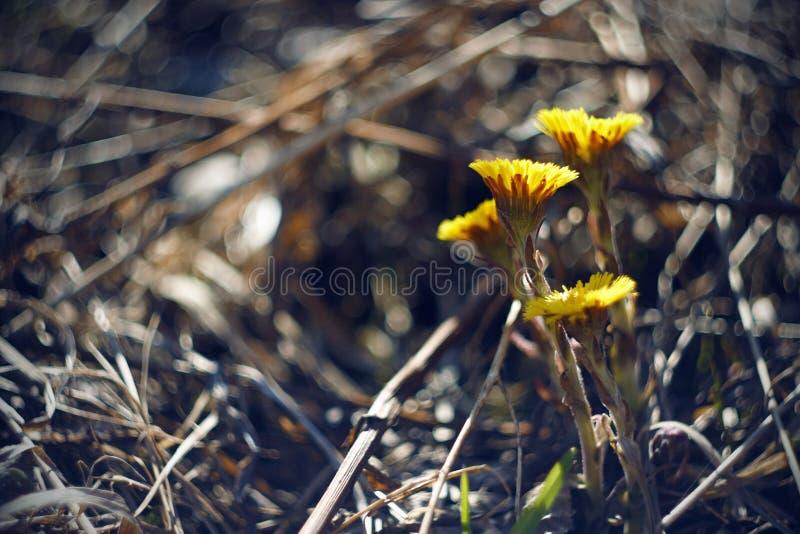 Einige helle gelbe blühende Blumen von Coltsfoot lizenzfreies stockbild