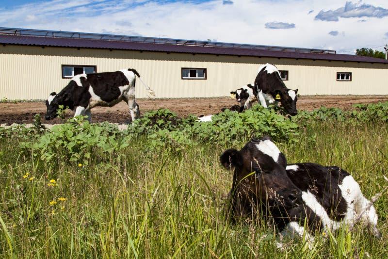 Einige Kühe auf dem Bauernhof lizenzfreie stockfotos