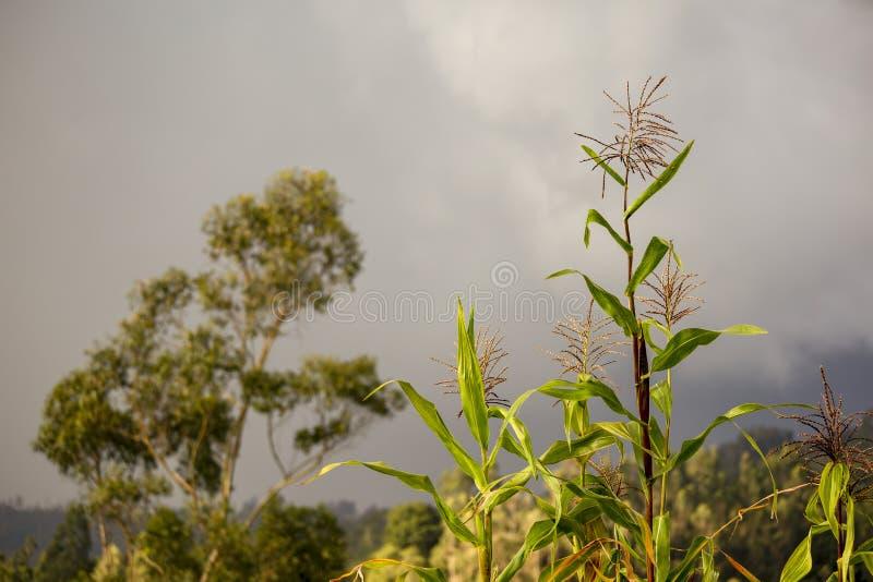 Einige Maisanlagen und ein Eukalyptusbaum lizenzfreie stockbilder