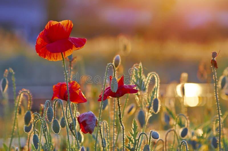 Einige rote Mohnblumen lizenzfreie stockfotografie