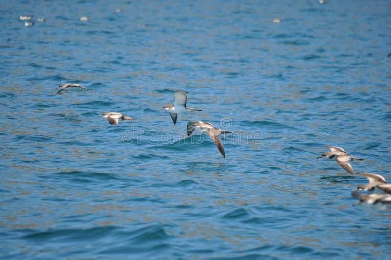 Einige Vögel, die über Ozean fliegen lizenzfreie stockfotografie