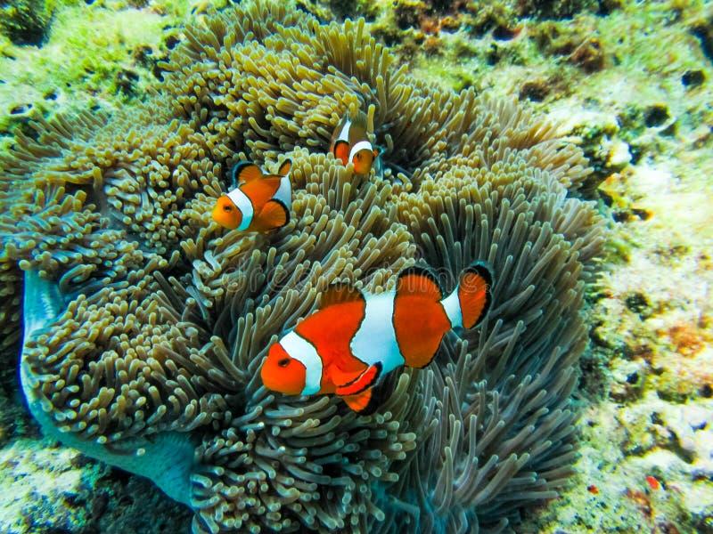 Einiges Clownfish in der Anemone stockbild