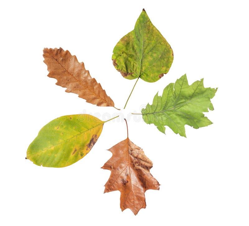 Einiges Herbstblatt mit Hälfte von ihr sehr trockenes lokalisiert auf Weiß stockbild