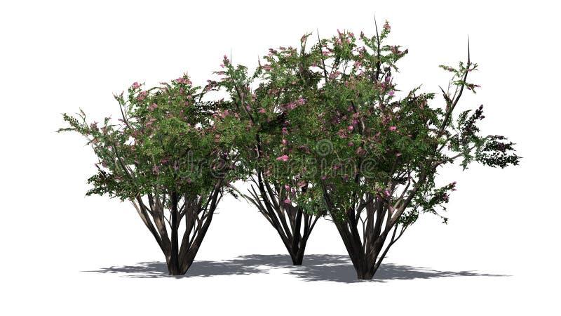 Einiges verschiedener Krepp Myrte mit Blüten stock abbildung