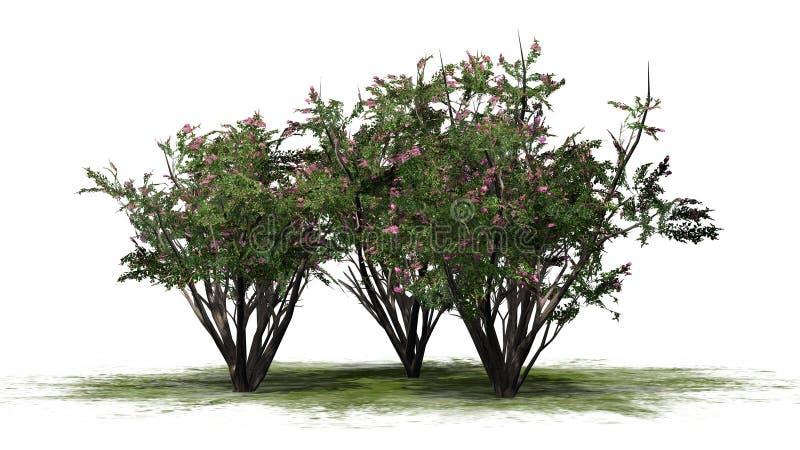 Einiges verschiedener Krepp Myrte mit Blüten vektor abbildung