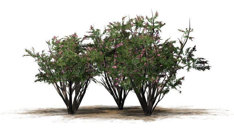 Einiges verschiedener Krepp Myrte mit Blüten lizenzfreie abbildung
