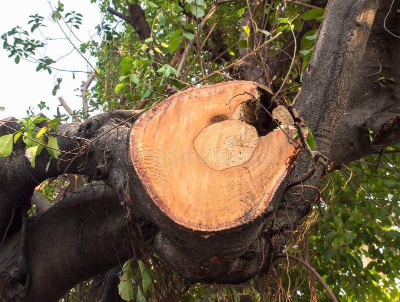 Einrückung des alten enormen Niederlassungsbaums stockfoto