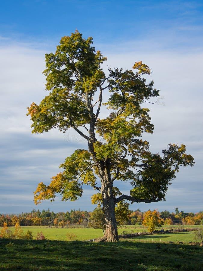 Einsam eine Kiefer auf einem Gebiet und ein gelbes Gras lizenzfreies stockfoto
