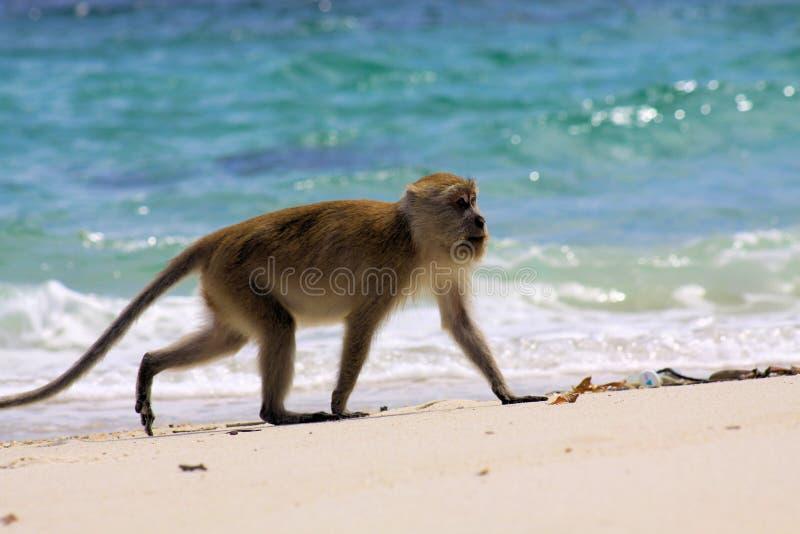 Einsame Affekrabbe, die den langschwänzigen Makaken, Macaca fascicularis gehend auf abgelegenen Strand entlang rauem blauem Meer  stockfotografie