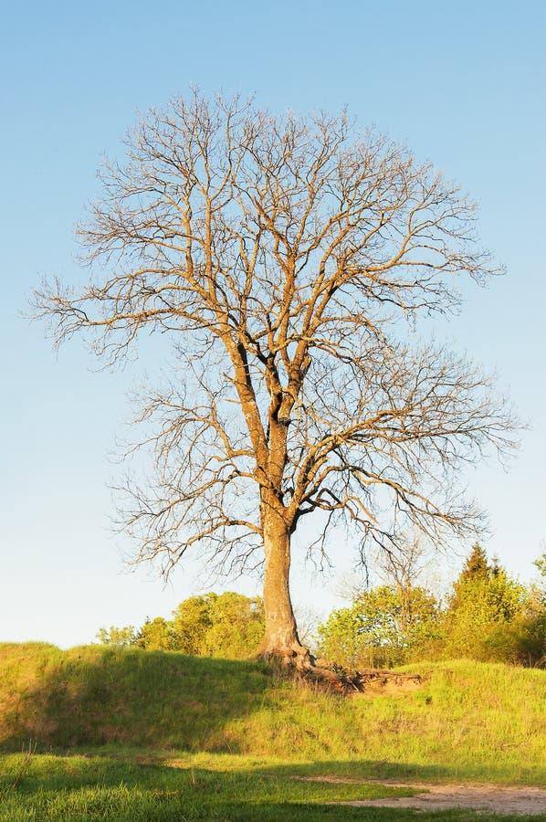 Einsame, bloße Eiche auf hoher Lichtung Spätfrühlingsjahreszeit stockfotos