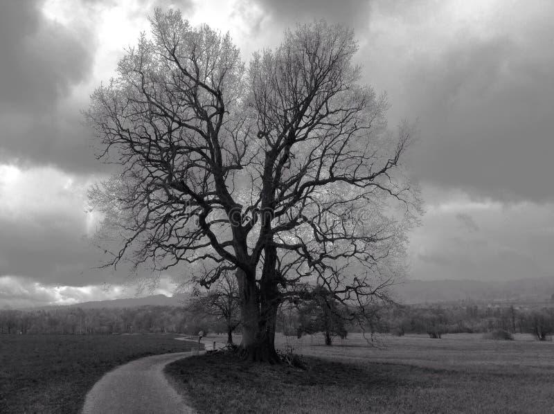 Einsame Eiche in der Winterlandschaft stockfotografie