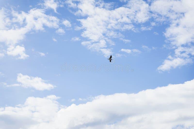 Einsame einzelne Seemöwe, die hoch im blauen Himmel mit weißen Wolken schwebt, lizenzfreie stockfotografie