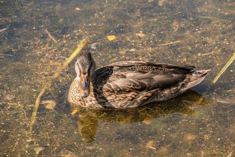Einsame Ente auf dem See lizenzfreie stockbilder