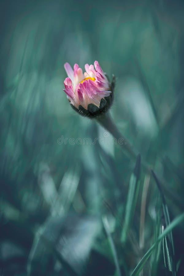 Einsame Gänseblümchenblütenbrüche durch Wiese stockfoto
