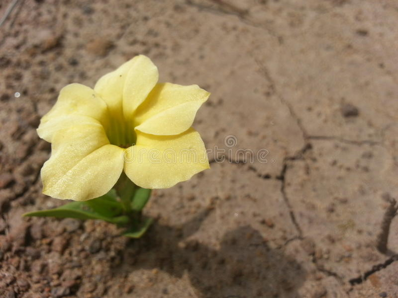 Einsame gelbe Blume über der trockenen, gebrochenen Erde lizenzfreies stockfoto