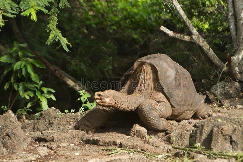 Einsame George-Schildkröte, das Letzte der Sorte stockbild