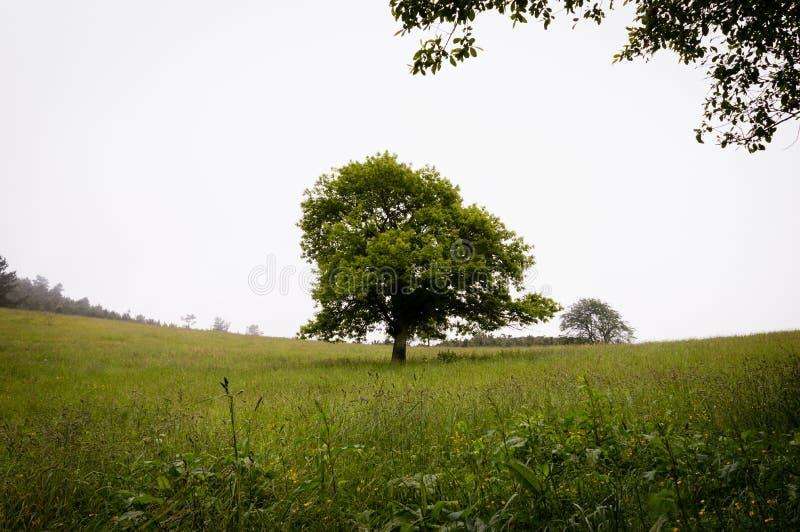 Einsame grüne Eiche auf dem Gebiet lizenzfreie stockfotografie