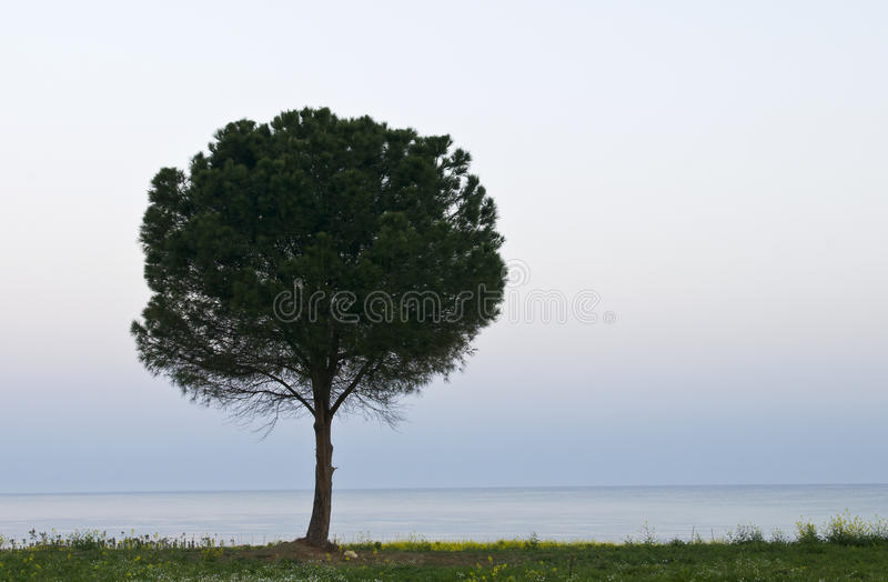 Einsame Kiefer stockfoto