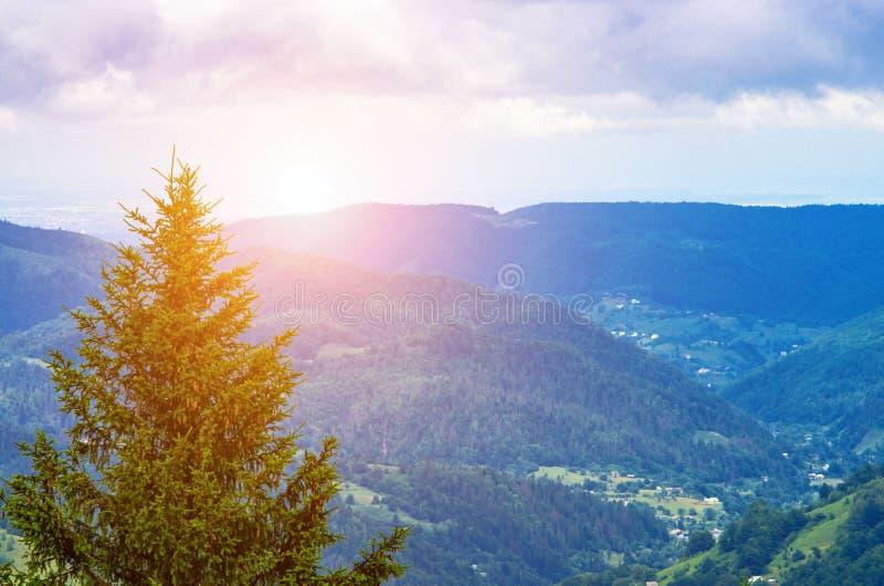 einsame Kiefer auf dem Hintergrund des Berghangs der Karpaten stockbilder