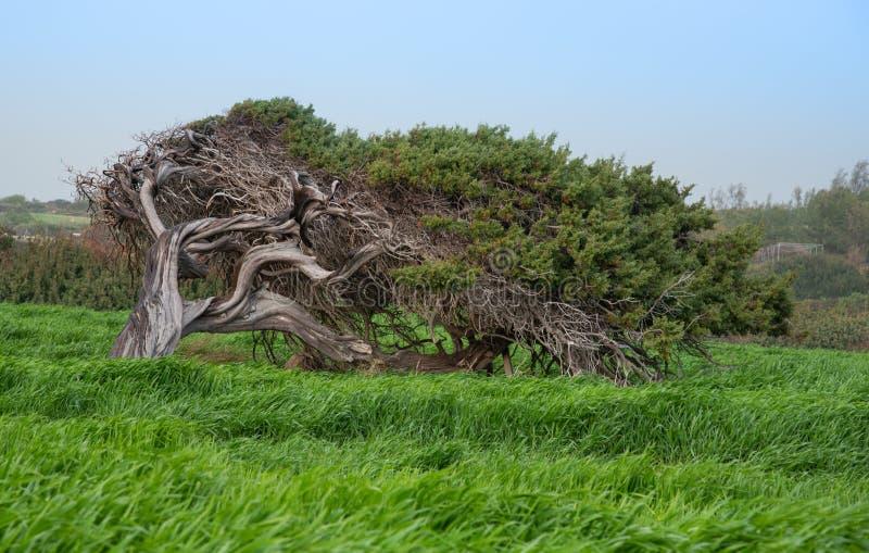 Einsame Kiefer mitten in dem grünen Feld stockfoto