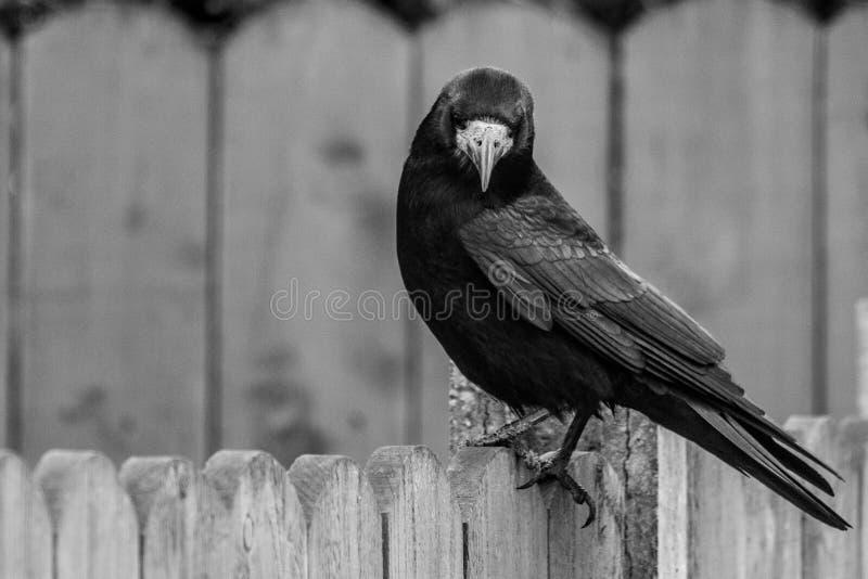 Einsame Krähe, die vom Gartenzaun anstarrt lizenzfreie stockbilder