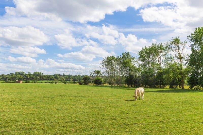 Einsame Kuh in der grünen Sommerwiese, Frankreich stockfotos