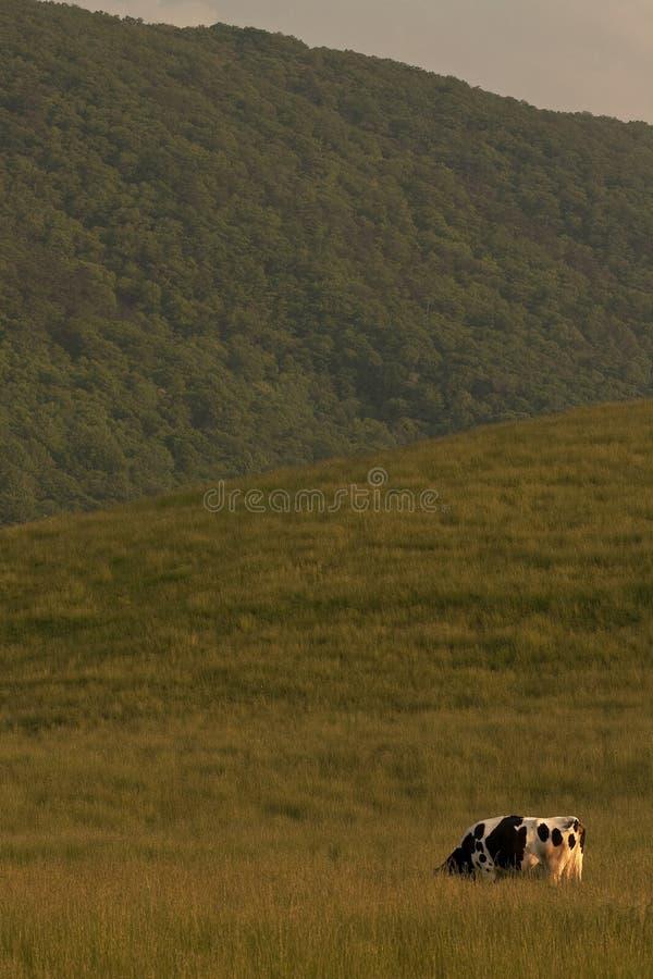 Einsame Kuh in der Weide lizenzfreie stockbilder