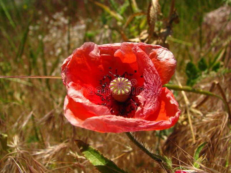 Einsame Mohnblume auf dem Feld stockbilder