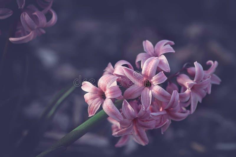 Einsame rosa Hyazinthe im Vorfrühling lizenzfreie stockfotos