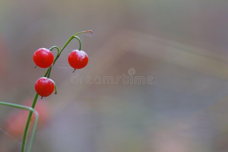 Einsame rote Beeren im Wald lizenzfreie stockfotos