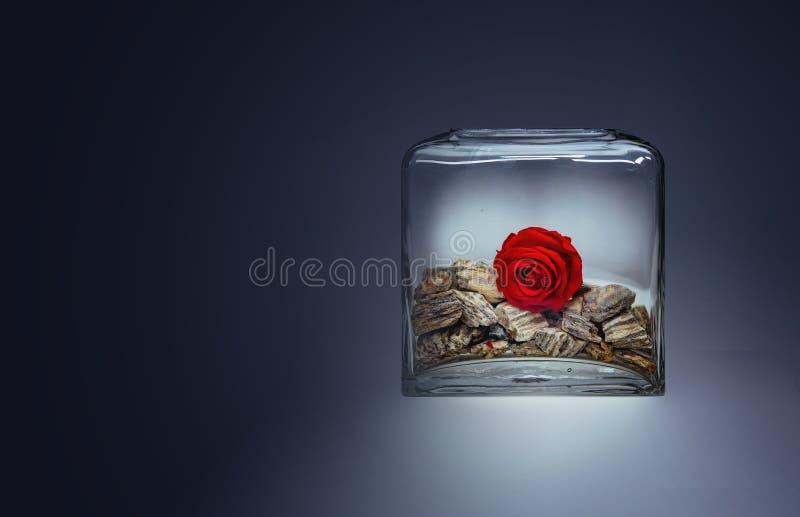 Einsame Rotrosenblüte in einem transparenten Glasvase mit Steinen stockfotos